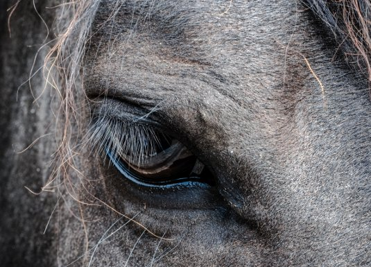 racehorse close-up