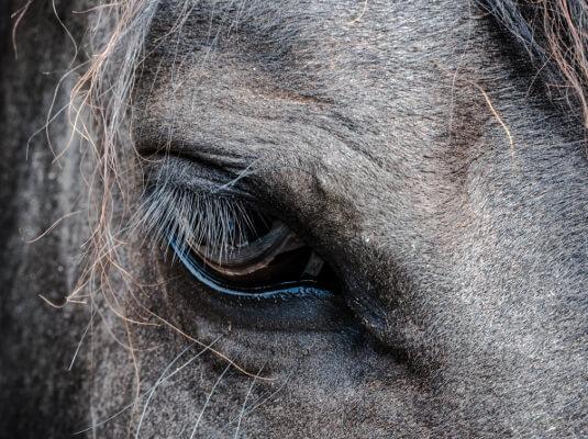 racehorse close-up